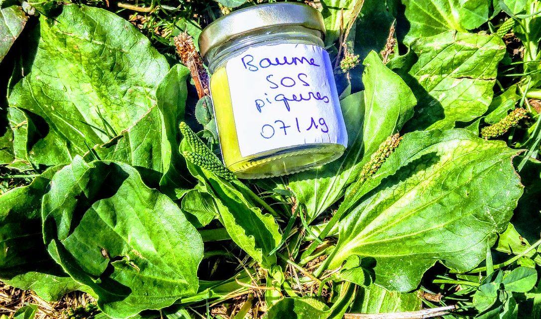 Le plantain : l'herbe sauvage indispensable qui pourrait sauver vos vacances !